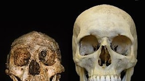 Skalle av Homo Floresiensis (Foto: Peter Brown)