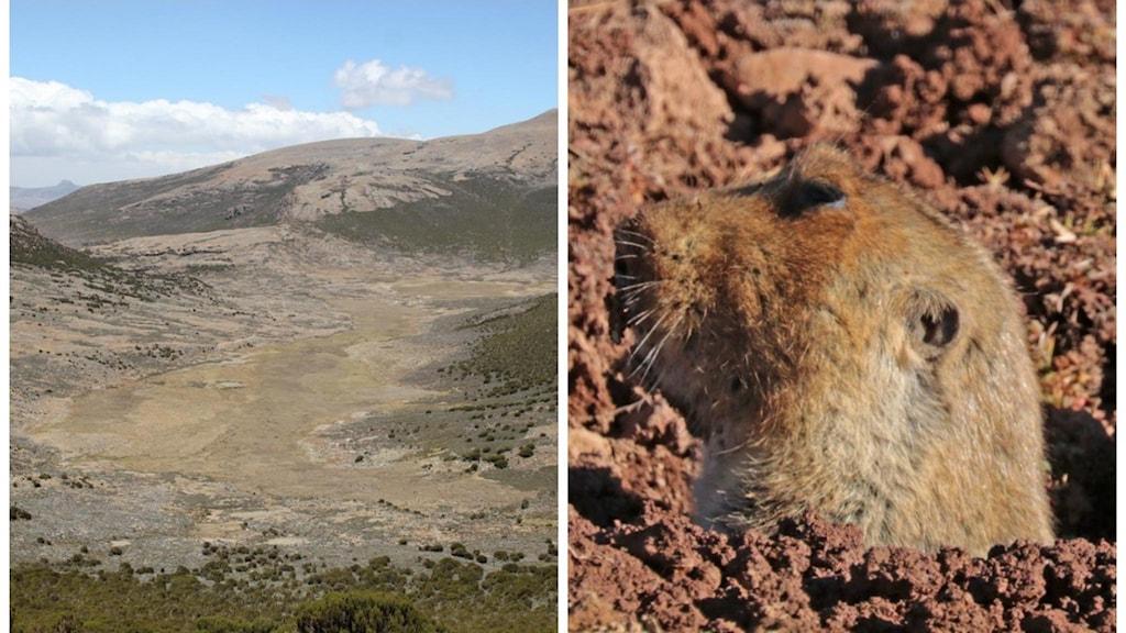Ett collage av två bilder där den ena visar ett kargt bergslandskap och den andra en rödråtta som tittar upp ur ett hål i marken.