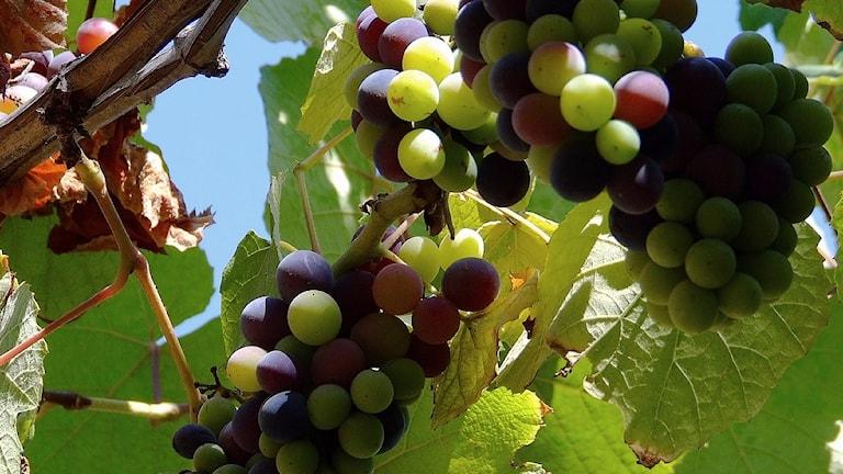 En klase röda vindruvor hänger och mognar i solen på en vinranka.