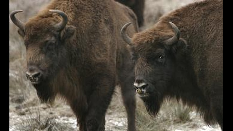 Visenter (Europeisk bison)