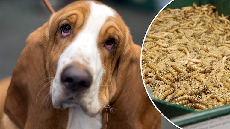 Delad bild. Den vänstra på en basset-hund som tittar in i kameran. Den högra på en låda med larver.