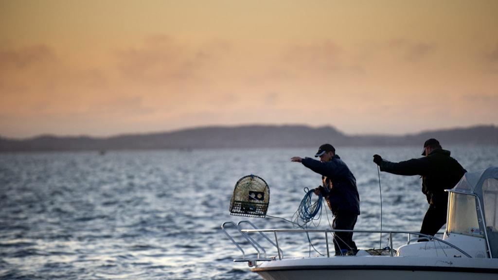 Fiskare kastar i hummertinor.