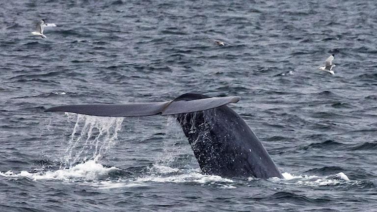 En blåvalsstjärt syns ovanför havsytan.