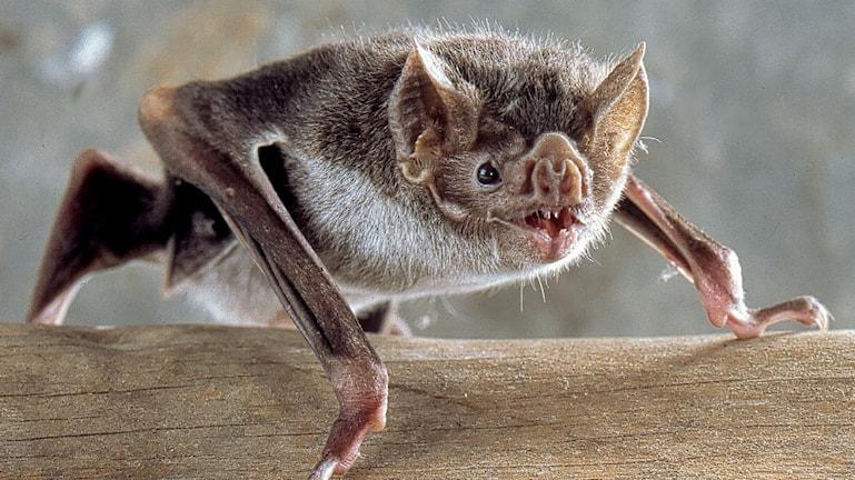 Vampyrfladdermus