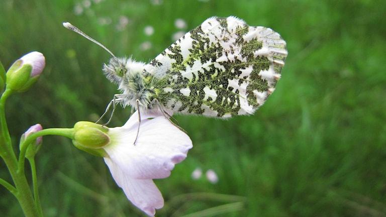 Fjäril med grässpräckligt kamouflage sitter på en rosa blomma