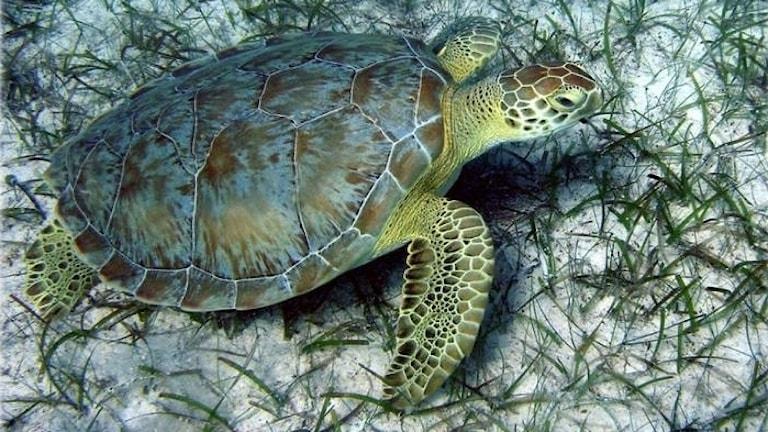 En havssköldpadda på en sandbotten.