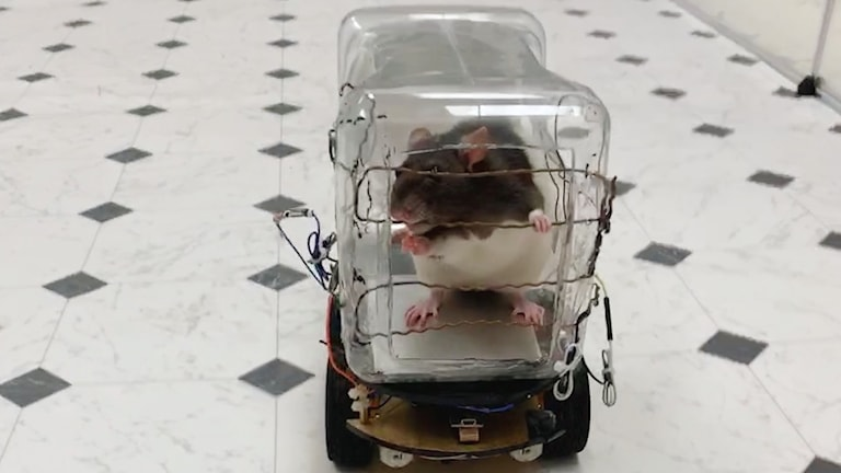 Svartvit råtta  i en plastbehållare på hjul.