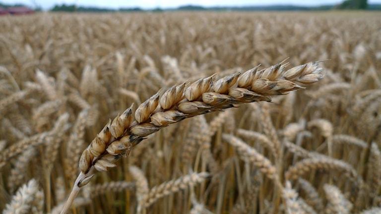 Ett vetefält.