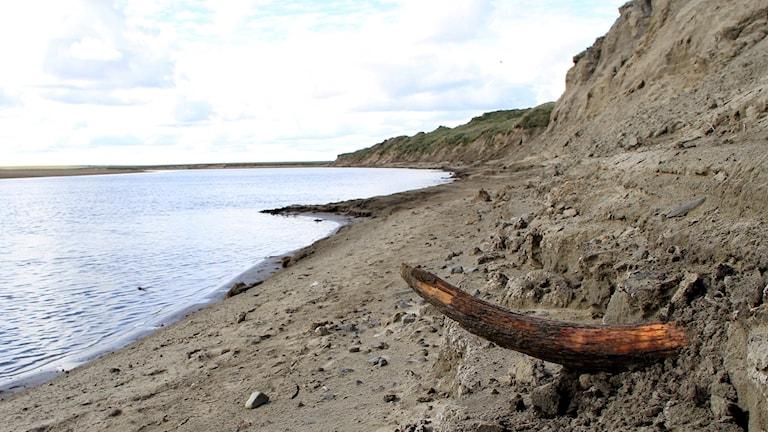 Mammutbete sticker ut ur en jordvägg vid vatten