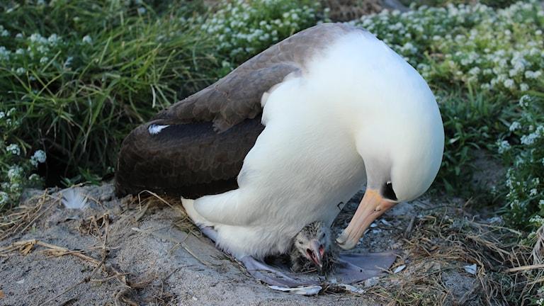 Närbild på albatross med unge.