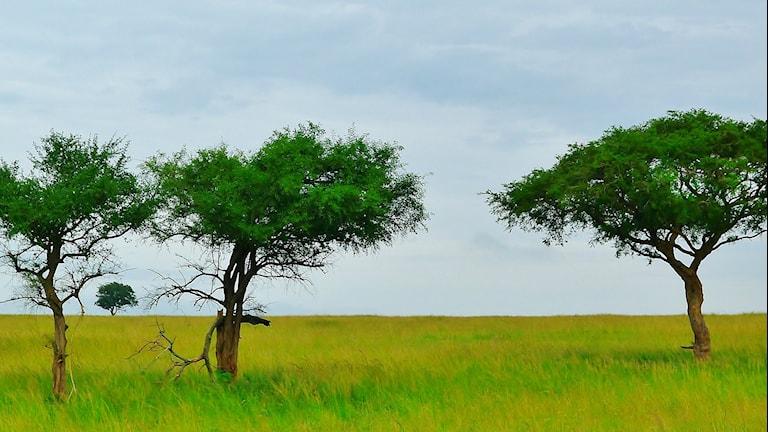 En afrikansk grässavann med några enstaka träd