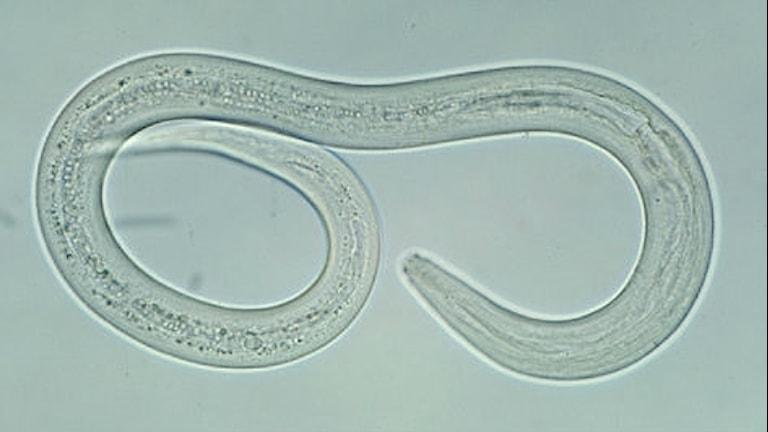 En mikroskopbild på en hakmask