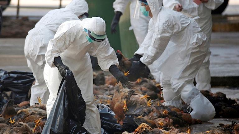 Människor i skyddsdräkt plockar ned döda höns i plastsäckar.