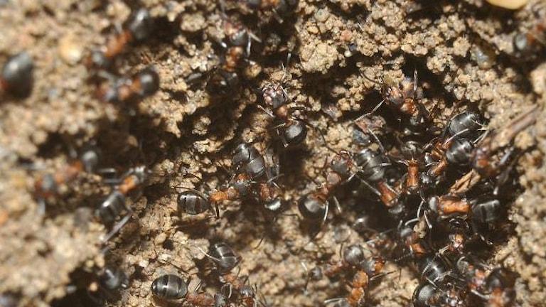 Myror jobbar med öppningarna in till stacken.
