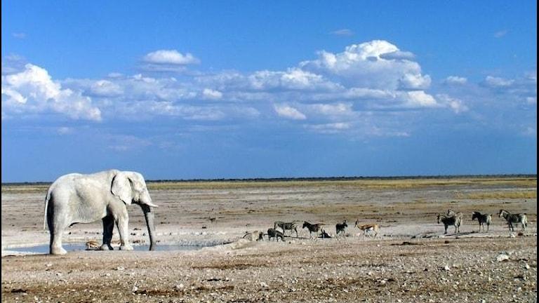 En elefant vänster i bilden som kollar på en flock zebror