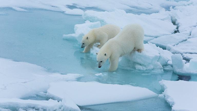 Två isbjörnar står på isflak och doppar framfötterna i havet.