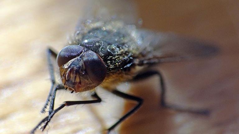 Närbild på fluga.