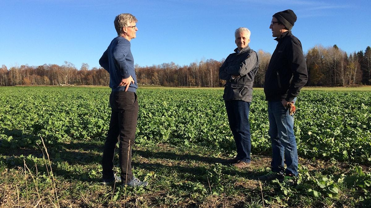 Tre personer står på ett fält med oljerättika.