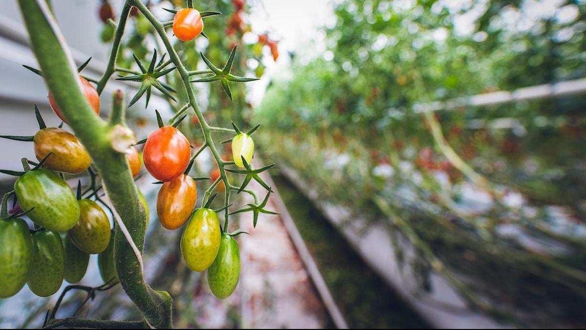 Tomater i grönt, orange och rött som växter på en grön stjälk.