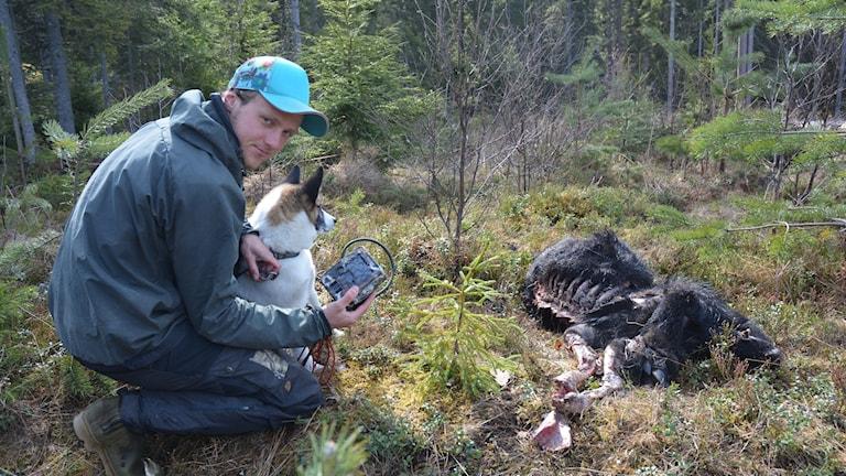 Fältteknikern David Ahlqvist och hunden Grim in till ett vildsvinskadaver.