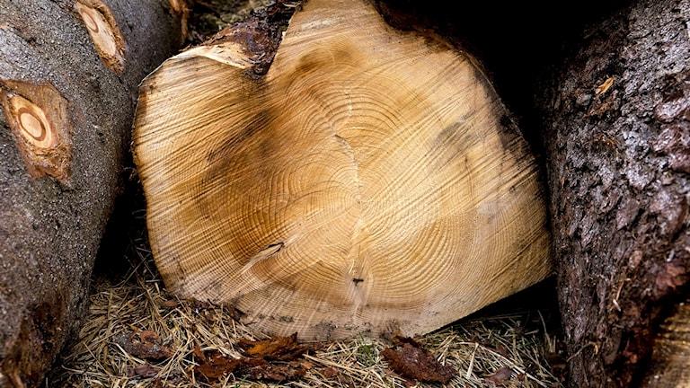 En avsågad trädstam med årsringar.