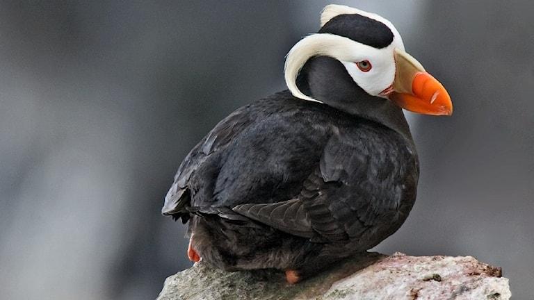 Svart fågel sitter på en sten med ryggen vänd mot kameran och vänder sitt vitsvarta huvud med röd näbb mot betraktaren.