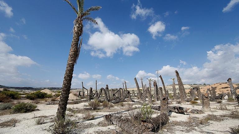 En palm bland flera palmer som gått av på mitten. Torrt ökenlandskap med blå himmel och moln i bakgrunden. Foto: Vidar Ruud / TT
