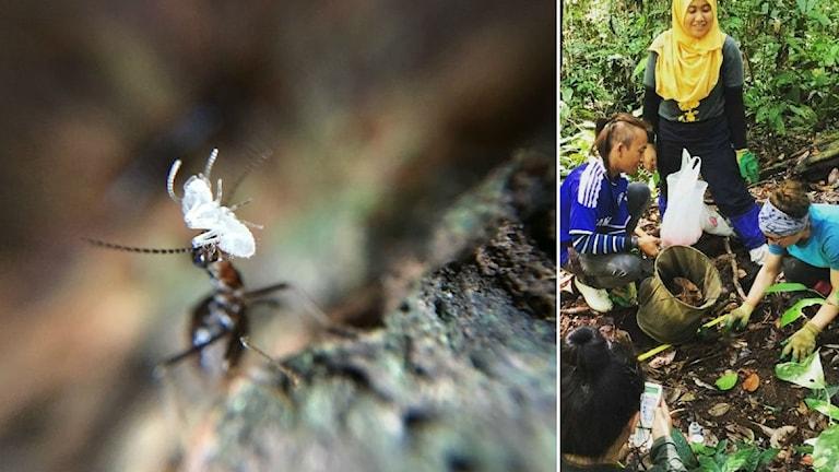 En närbild på en termit i collage med forskare som studerar termiterna på marken i en regnskog.