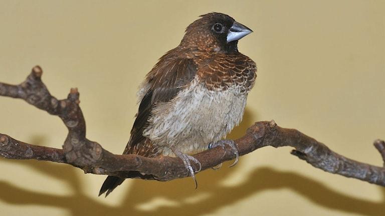 En måsfink, som är en vanlig burfågel, sitter på en gren.