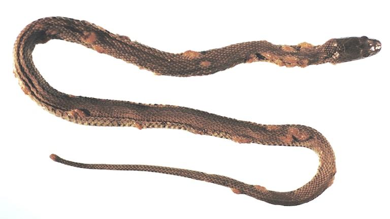 En orm som tillhör arten Nerodia sipedon har drabbats av en svampsjukdom som gett den blåsliknande skador i skinnet över hela kroppen.