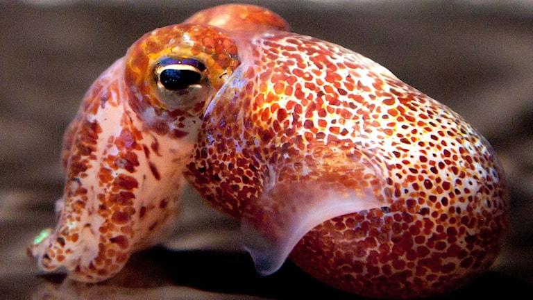 En bläckfisk i profil