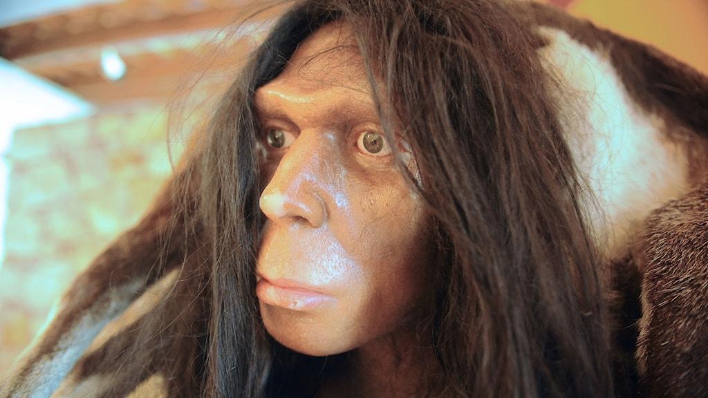 Huvudet av en neandertalare i en rekonstruktion på ett museum.