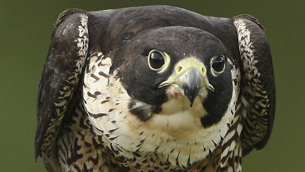 Närbild på en falk med kraftig kroknäbb och mörk hjässa, rygg och kinder. Pilgrimsfalk, Falco peregrinus.