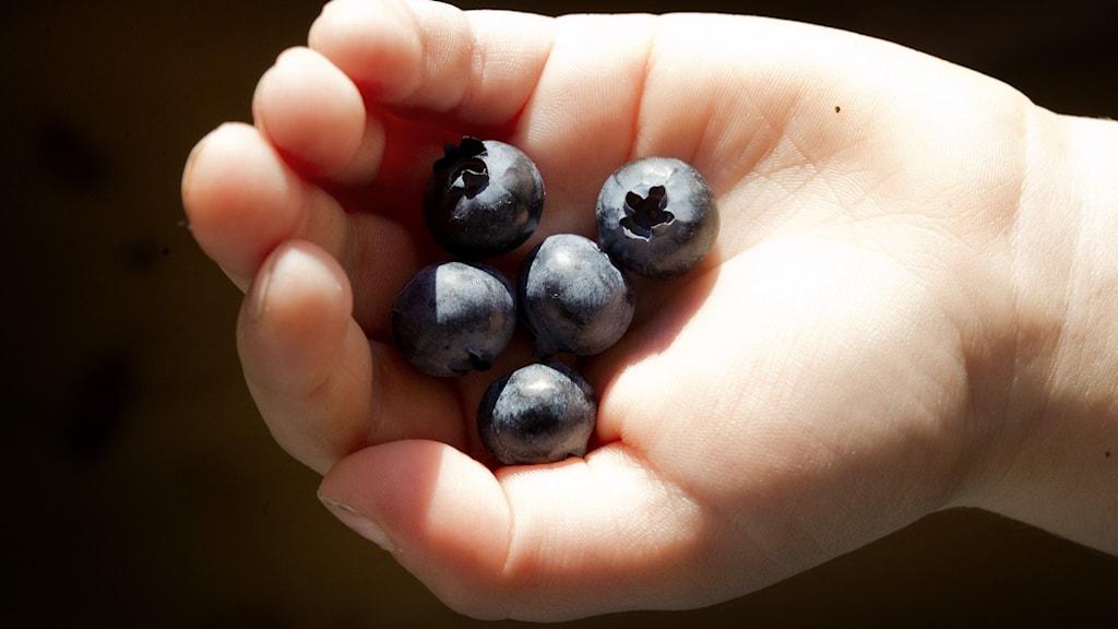 Barnhand med fem stycken amerikanska trädgårdsblåbär