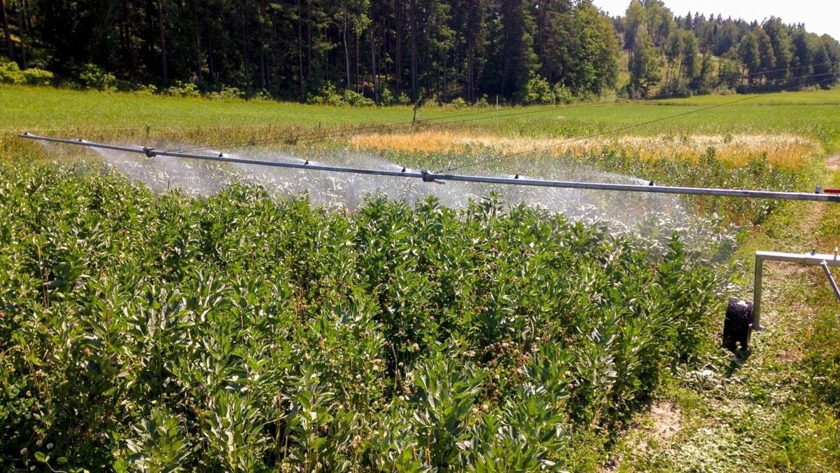 Vatten sprutas över gröna grödor