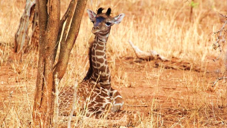 En giraffunge ligger på marken.
