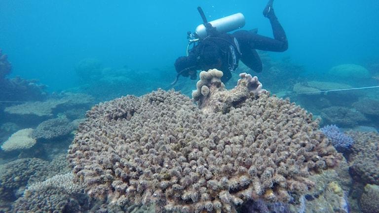 Bleknat korallrev