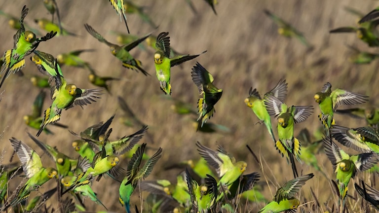 En flock med vilda undulater som flyger i Australien