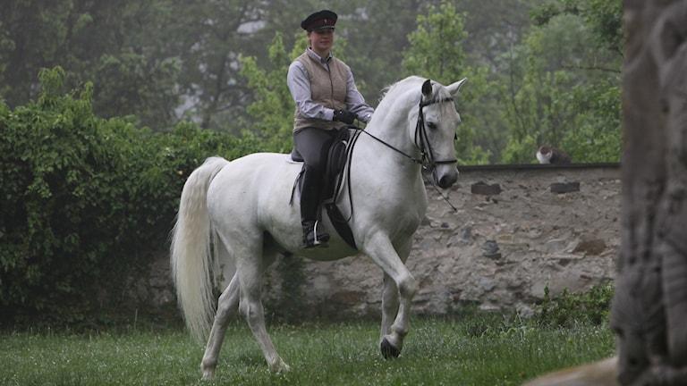 En ryttare riden en vit lippizzanerhingst
