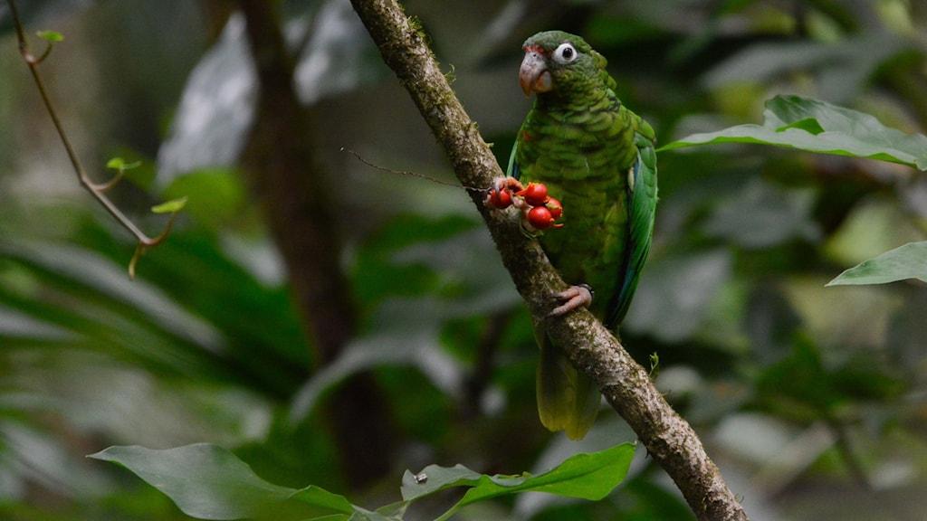 Hotad papegoja i Puerto Rico.