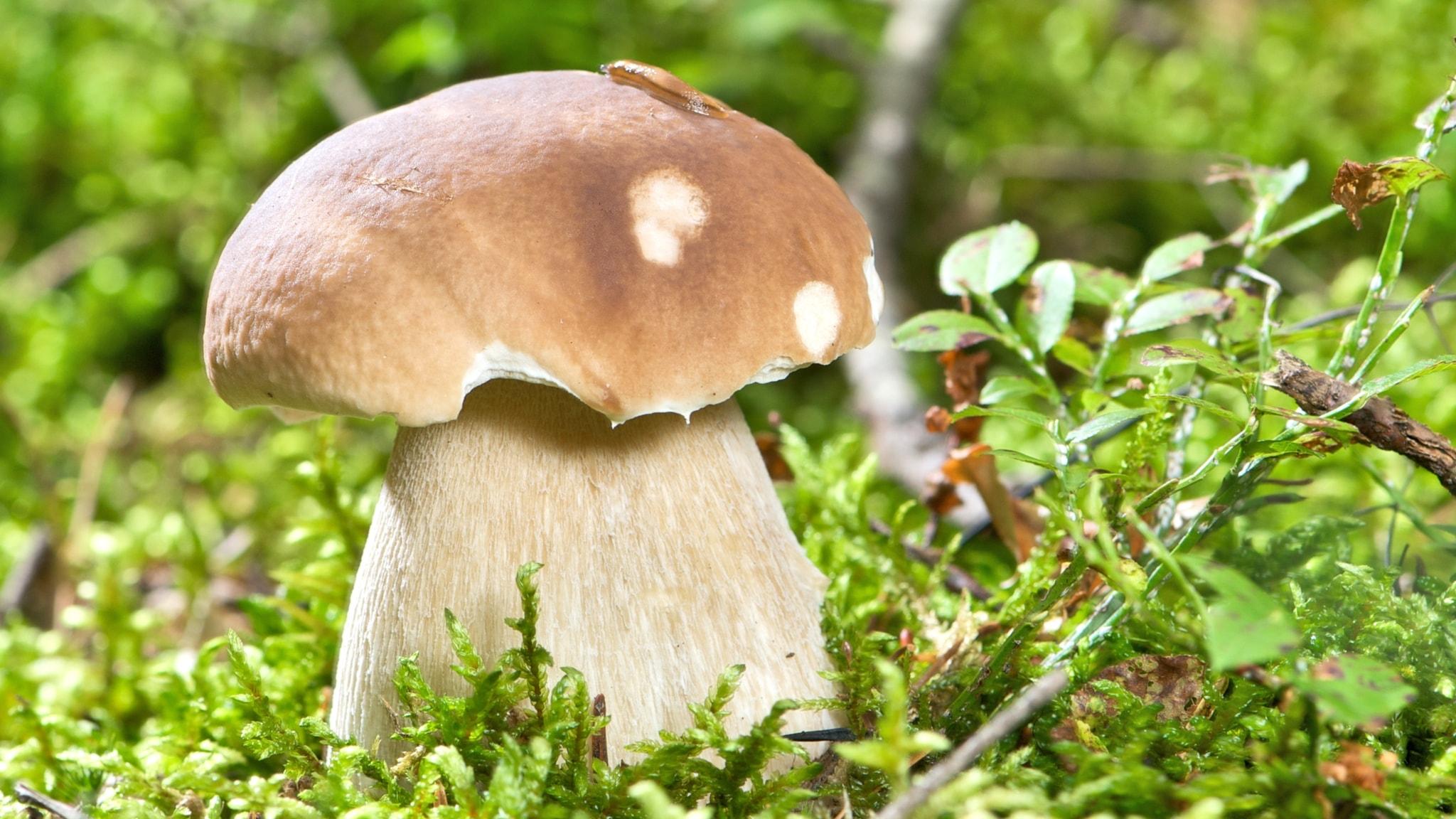 Skogen full av svamp - expert talar om bästa året på på
