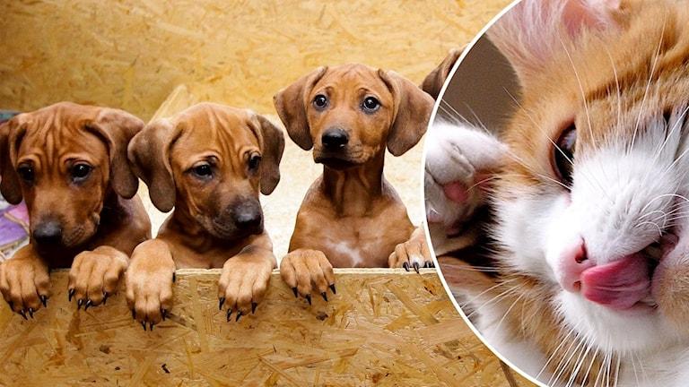 Delad bild. Höger bild visar hundvalpar. Vänster bild en kattunge.