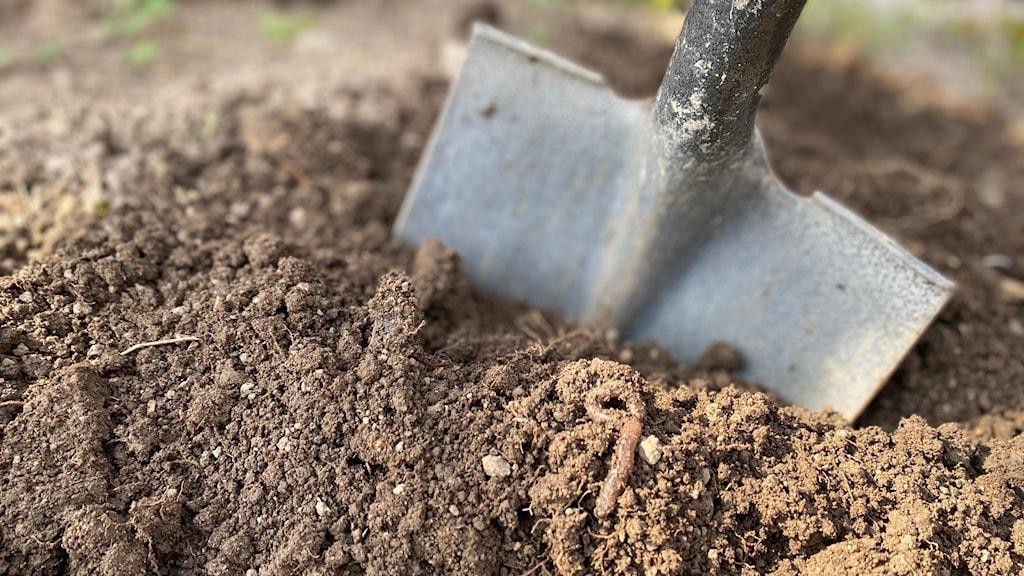 Bladet på en spade nedtryckt till hälften i jord.