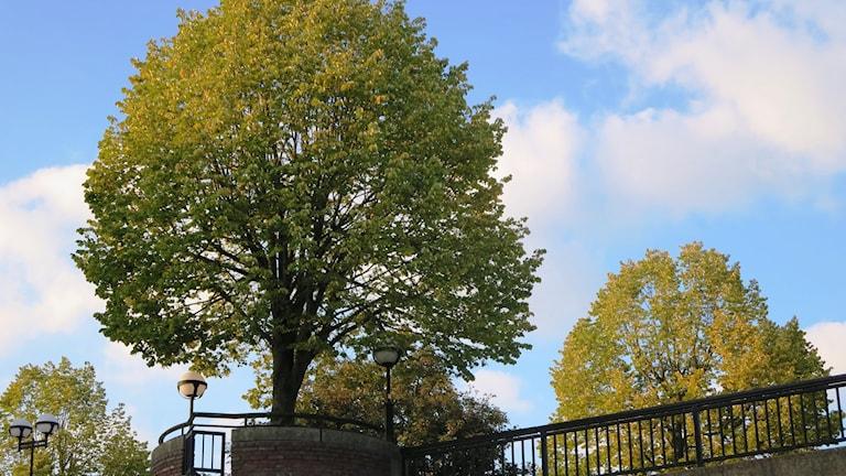 Träd med blå himmel i bakgrunden.