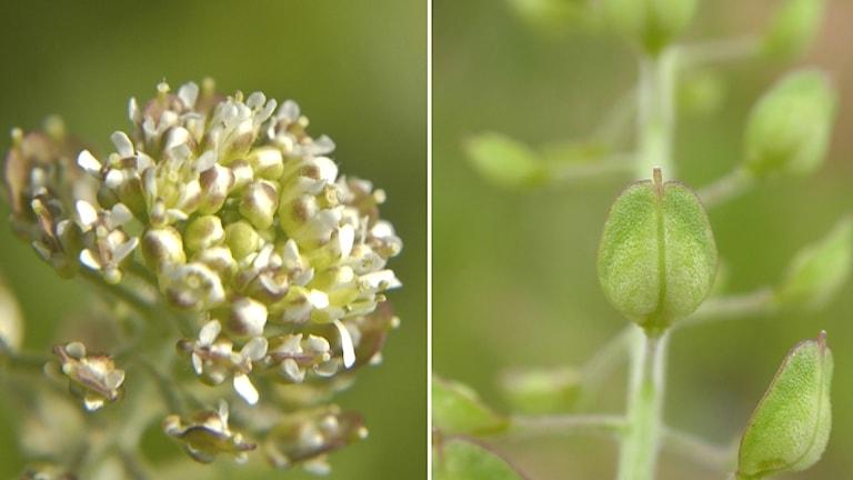 En växt med vita små blommor och lite knubbiga blad