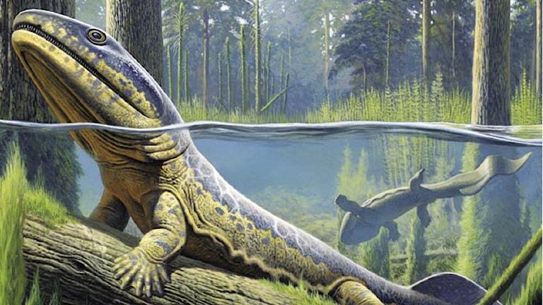 Acanthostega, den första fyrfotingen på land illustrerad på en stock i vattnet, på väg upp på en strand.
