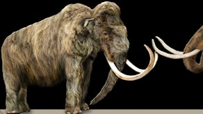 En ullhårig mammut.