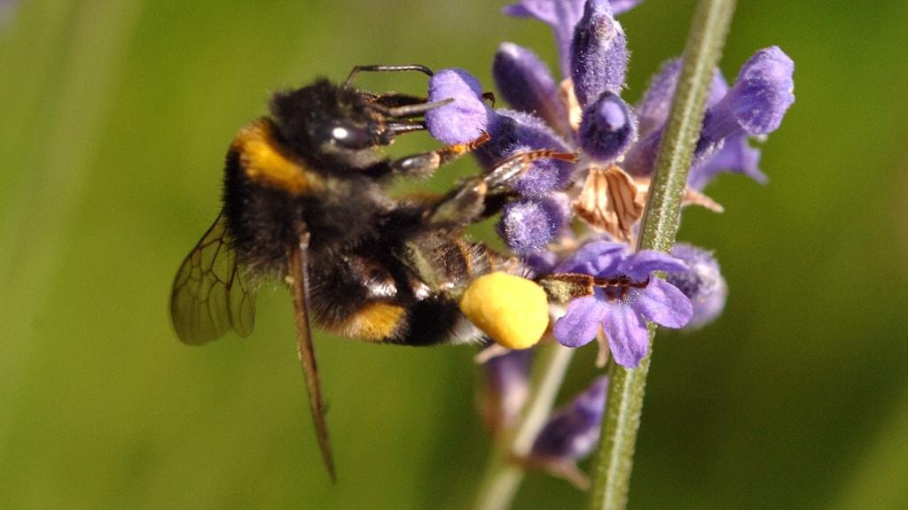 Humla samlar pollen på lavendelblommor.