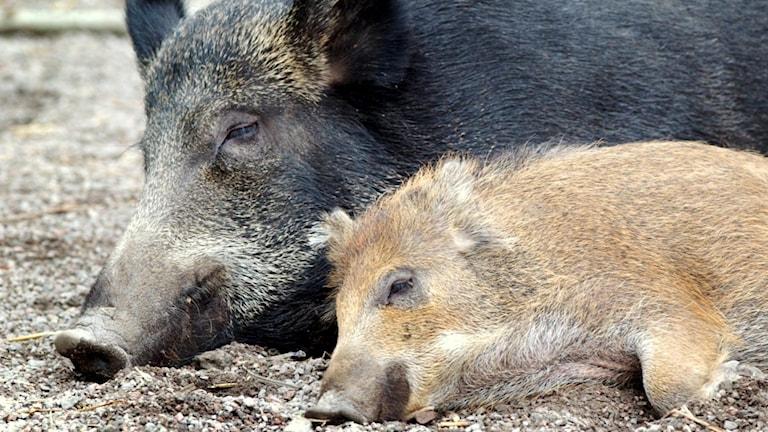 Ett vuxet och ett ungt vildsvin vilar bredvid varandra.