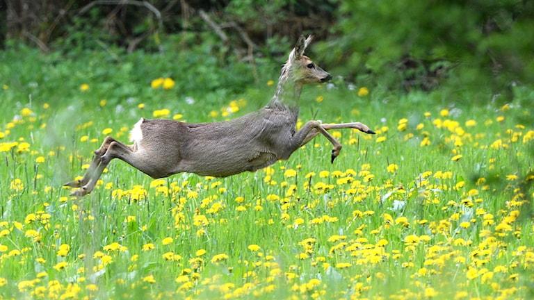 Brungrå hjort utan horn, i ett flackt hopp över äng översållad av maskrosor i södra Tyskland.